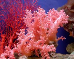 pink-coral